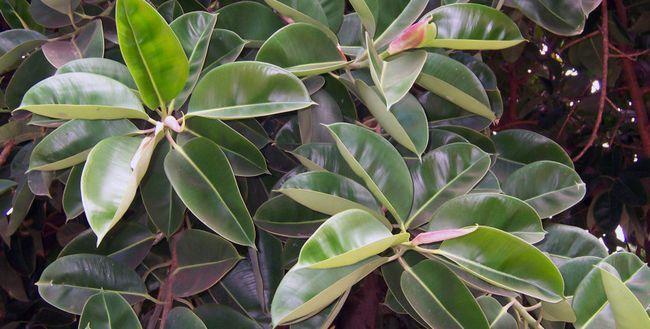 Ficus Elastica: îngrijire la domiciliu