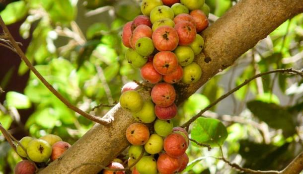 Фикус кистевидный (ficus racemosa)