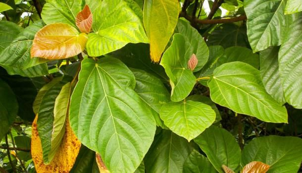 Фикус ушковидный (Ficus auriculata)