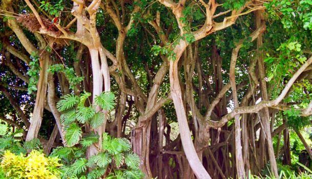 Фикус золотистый (Ficus aurea)