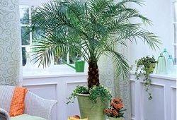 Финиковая пальма на подоконнике: от возможностей к результату