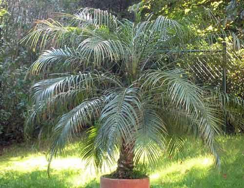 Финиковая пальма напомнит о заморских странах