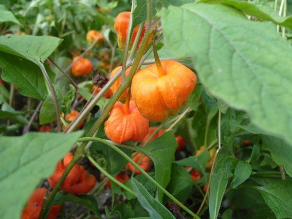 Physalis - есенното декорация градина