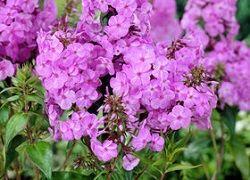 Флоксы многолетние: посадка в саду и правила ухода