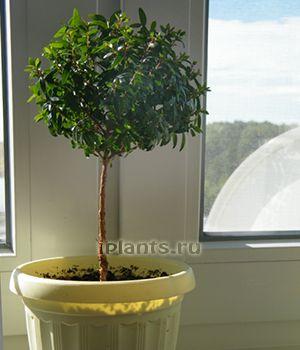 tváření Stam stromy