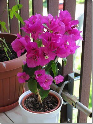 Фото бугенвиллии - красивое декоративное растение с необычными цветками