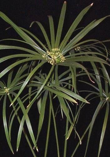 Фото циперуса подчеркивают грациозность растения