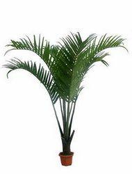 Кокосовая пальма: содержание в домашних условиях