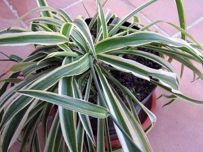 Chlorophytum comosum / Хлорофітум хохлатий