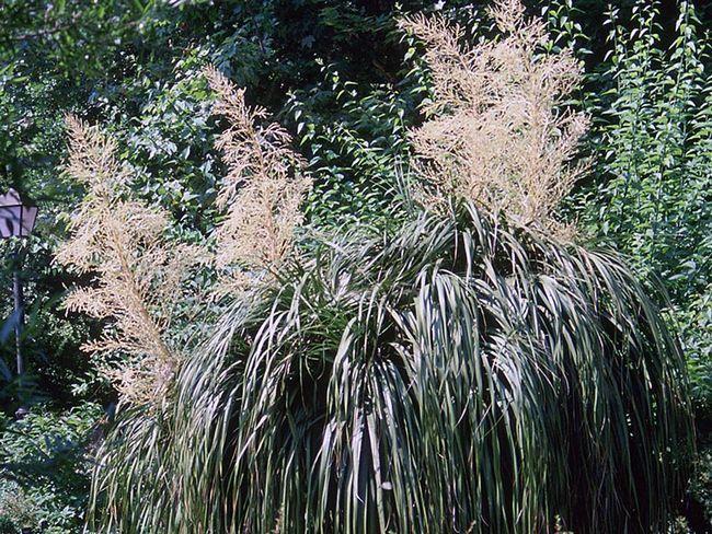 Nolina longifolia / Nolin dlinnolistaya