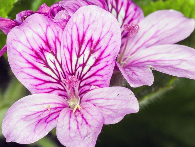 Pelargonium angulosum / Pelargonium kotni