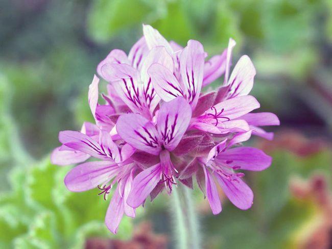 Pelargonium capitatum / Pelargonium capitatum