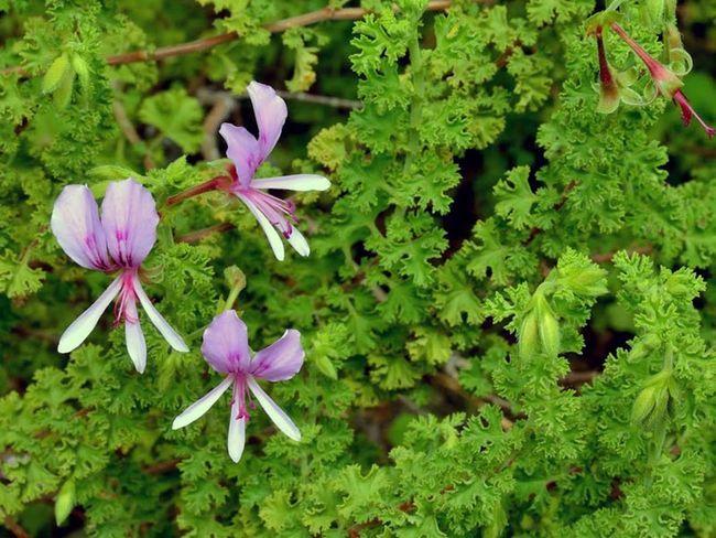 Pelargonium crispum / Pelargonium kodrasti