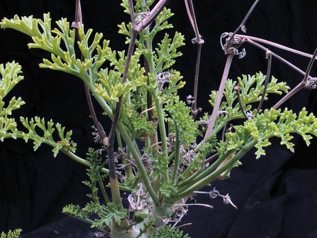 Pelargonium crithmifolium / Pelargonium pushistolistnaya