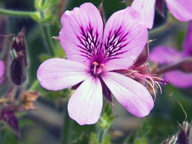 Pelargonium cucullatum / Pelargonium cucullata