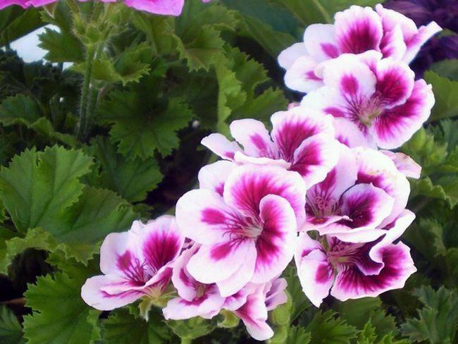 Pelargonium grandiflorum / Pelargonium grandiflorum