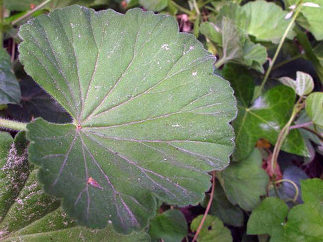 Pelargonium inquinans / Pelargonium umažejo