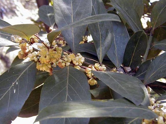 Laurus azorica (canariensis) / Laurus Azori (Kanarski)