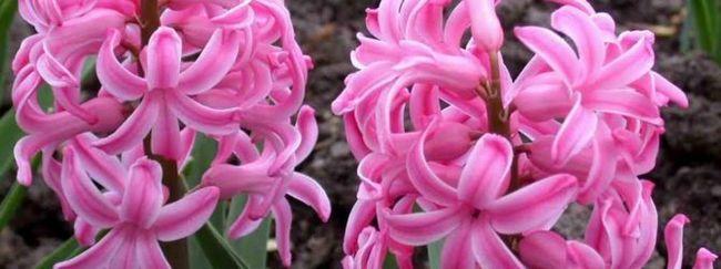 Galton (Cape hijacinte: opis, razmnoževanje, nega, sajenje, uporaba vrta, fotografije, sort in vrst