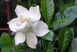 Гардения для красоты и пользы: уход за белоснежной кокеткой