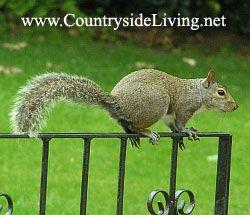 Ameriška siva veverica