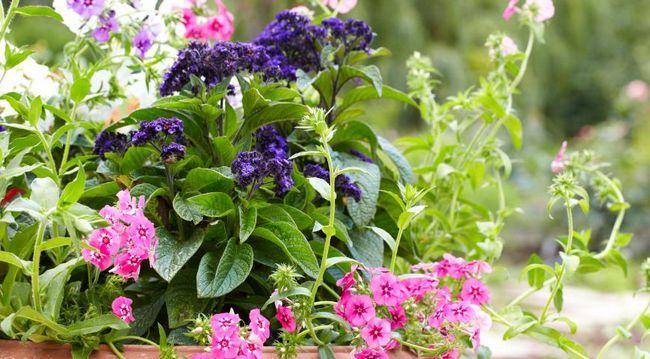 heliotropa, enoletnice, ideje za vrt, rastline v lončkih