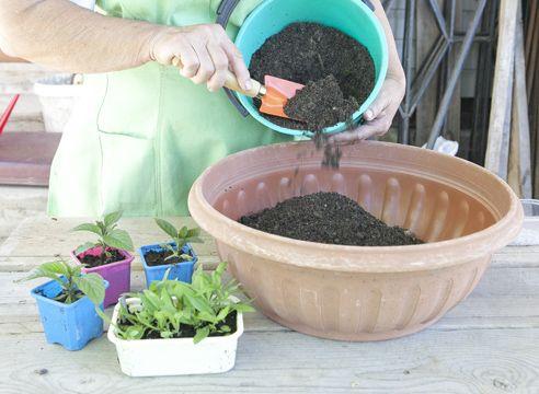 Heliotrop, rastoče sadike iz semen, priprava tal za sajenje v posodo