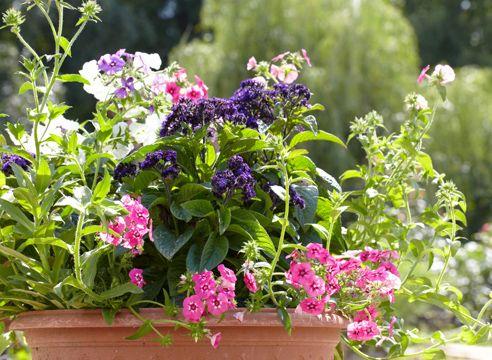 Heliotrop, vzgojo sadik iz semena, cvetenje Heliotrop in Phlox Drummond