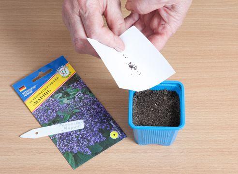 Heliotropa, vzgojo sadik iz semena, sejanje semen