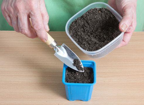 Heliotrop, vzgojo sadik iz semena, je zaželeno, da potresemo semena z zemljo