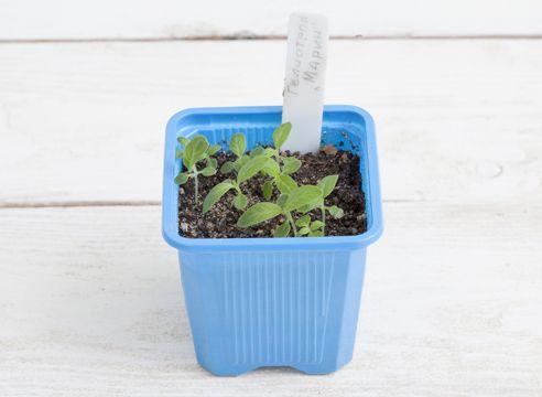 Heliotrop, vzgojo sadik iz semena, sadike geloitropa
