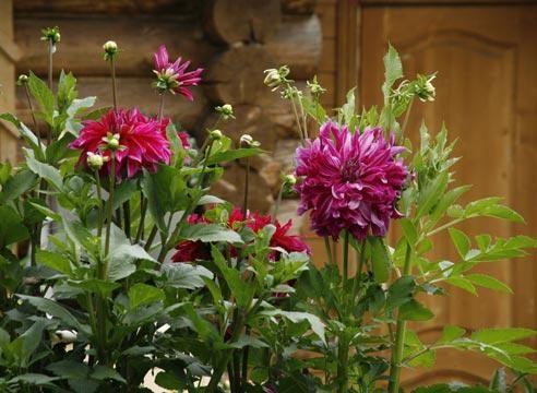Георгины, немахровая форма, цветник у дома