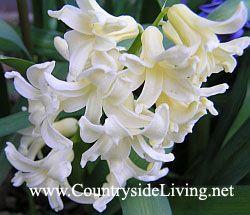 Hyacinth kot doma in vrtnih rastlin