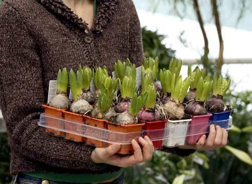 Hyacinth, kalijo žarnice