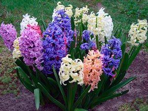 Skrb za hyacinth v domu