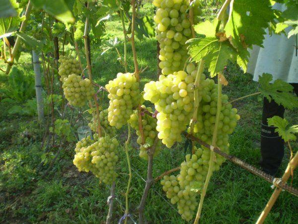 Виноград благовест описание сорта фото