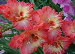 Reguli de plantare din țară: Gladiole