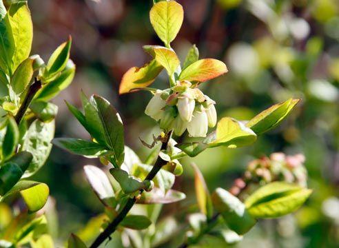 Ameriška borovnica, cvet
