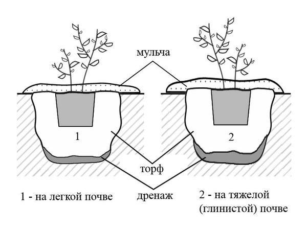 sajenje borovnic v različnih tal