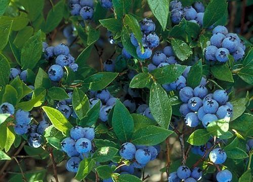 Borovnice angustifolia sorte North Country