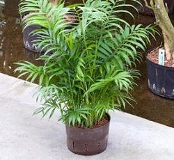 Chamaedorea - palmier fără temperament capricios