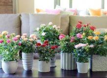 Lončkih vrtnice za Valentinovo