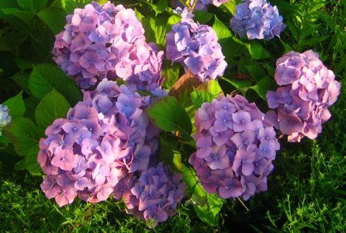 Hydrangea - neokázalý luxus letní zahrádka