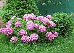 Гортензия садовая: посадка и правила формирования пышных соцветий