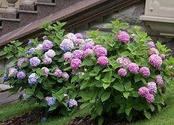 Посадка метельчатой гортензии: секреты буйства ярких соцветий