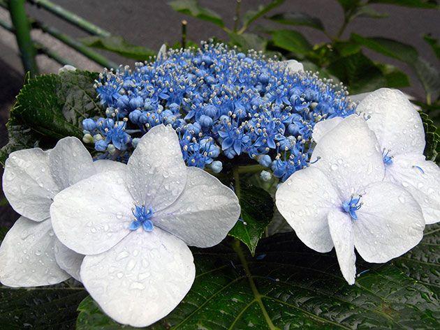Цветок гортензия – уход в домашних условиях: размножение и пересадка гортензии дома - домашняя гортензия – обрезка, полив и удобрение