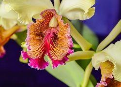 Утонченная орхидея каттлея в домашнем цветоводстве