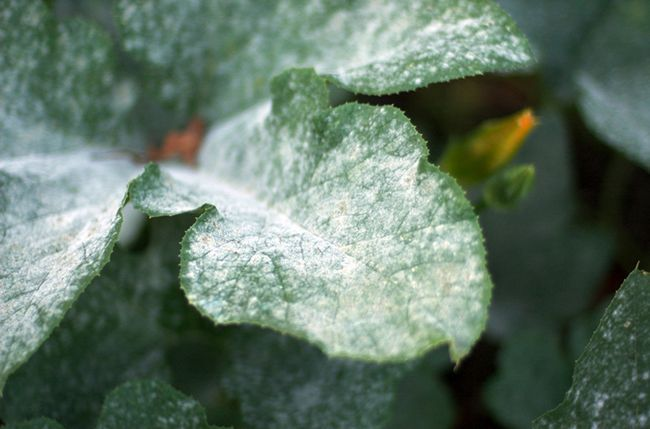 Powdery Mildew Fungi on Pumpkin Leaves