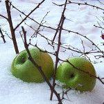 Груша Уралочка выведена специально для Уральских морозов