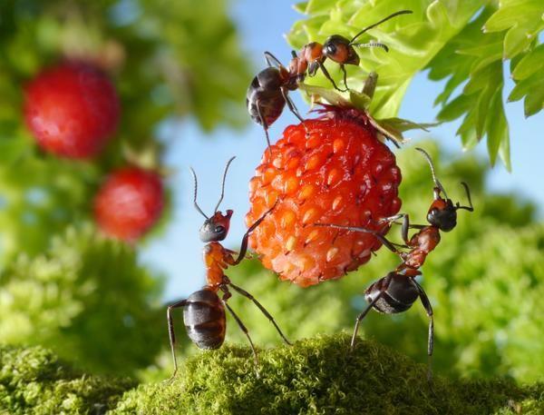 Гуманные методы борьбы с муравьями на дачном участке